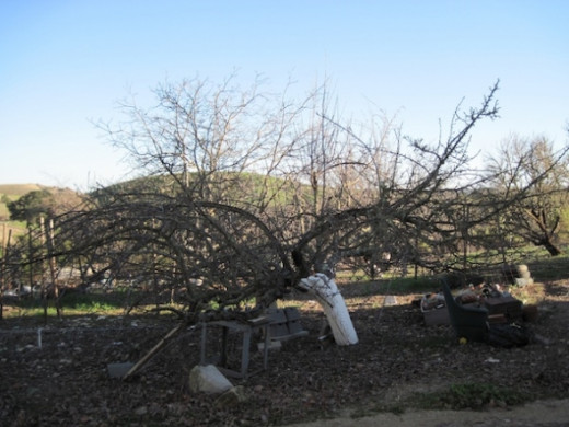 This is how the apple tree looked at the beginning of the dormant season. You can see the efforts that had been made to prop the heavy branches up with whatever we could find to support the weight.