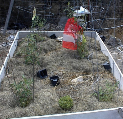 This is a close-up of the large raised bed. The only plant which actually bore fruit is the one dressed in orange. That bag is there to keep the birds from pecking at the few fruits that are under it. It produces only a few small fruits.
