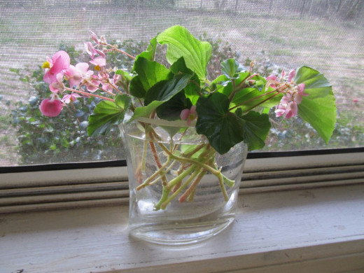 rooting an angel wing begonia