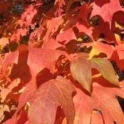 Fall Trees - A Stroll Around Pendleton SC