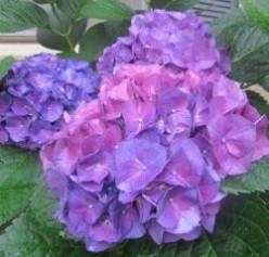 Colorful Hydrangea Blossoms