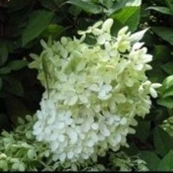 Limelight Hydrangea Or Is It?