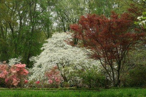 dogwoods and azaleas