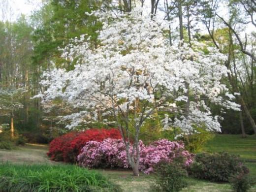 azaleas and dogwoods