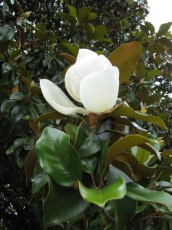 Blossom of Southern Magnolia Tree