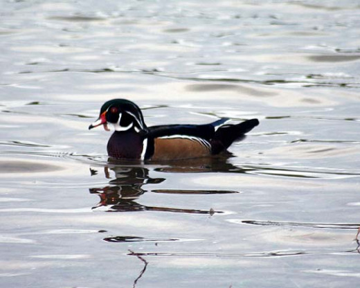 Doodle the wood duck