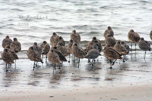 Willets and godwits together in San Diego's Mission Bay