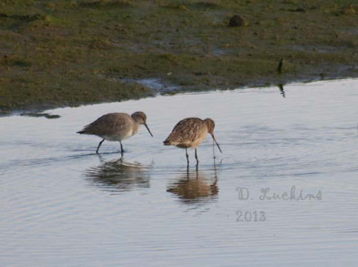 Willet and godwit together.