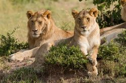 Lions posing Source: Blieusong on Flickr