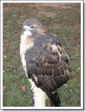 Skoski, a red-tailed hawk