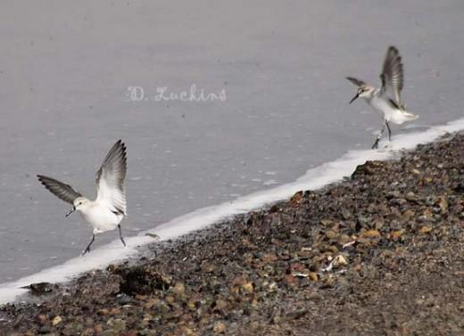 Western sandpipers, landing