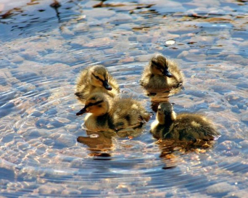Four ducklings puzzle, for sale at Cafepress