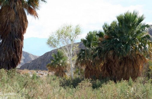California Fan Palms in Coachella Valley.