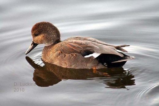 Male gadwall