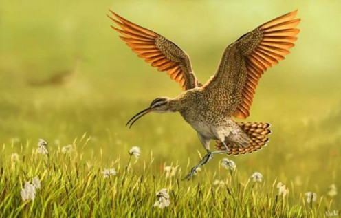 Eskimo Curlew by Nachiii from Deviant Art