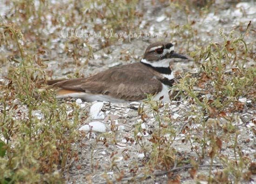 Killdeer at Fiesta Island