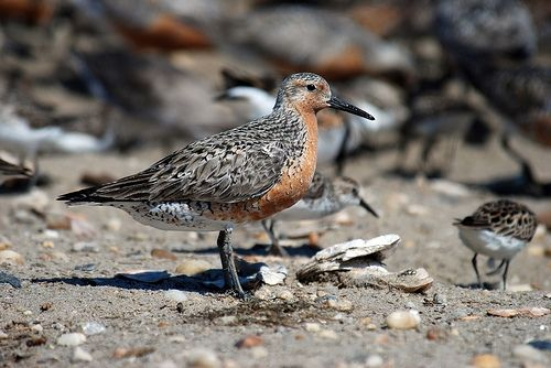 Red Knot by Gregory Breese