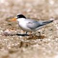 Helping the California Least Tern