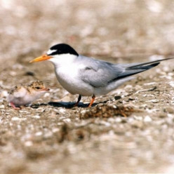 Helping the California Least Tern