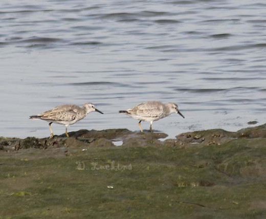 West coast red knots