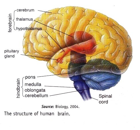 The brain is the largest and most complex mass of nervous tissues in the body.