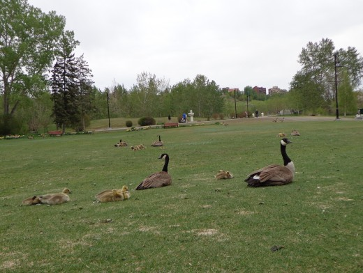 Mother and Father Goose and their goslings on Prince's Island on the Bow River in Calgary, Alberta.