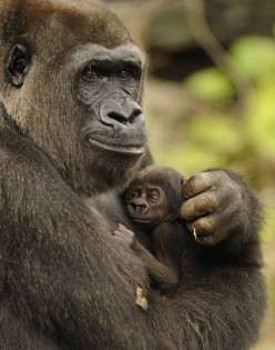 The Cross-River Gorilla; One of The World's Most Endangered Primates