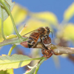A honey bee gathering nectar.