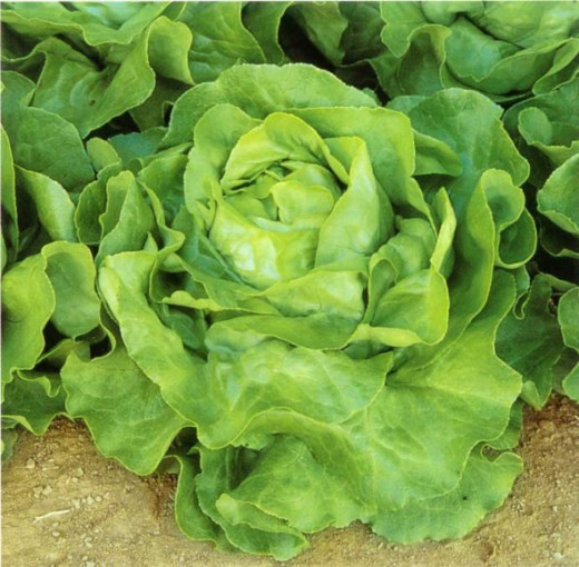 Butter Lettuce aka Boston Lettuce, has firm but soft leaves, great for giving body to your salad