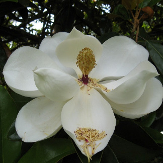 This is one of my most favorite photos and I have taken many of Southern Magnolia Blossoms.  One of these days I am going to paint a picture of this one.
