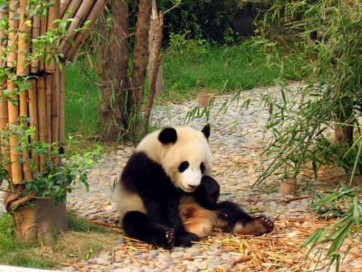 Colegota: Pandas of Chengdu