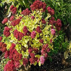 Sedum Autumn Joy Gives Multi Seasonal Interest