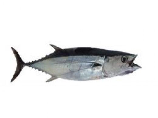 longfin albacore tuna