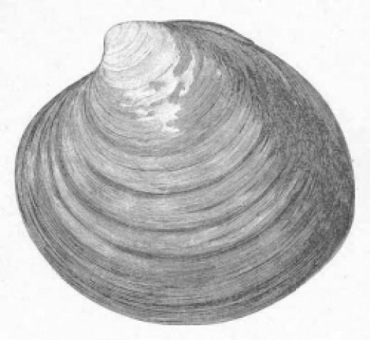 ocean quahog sea clam