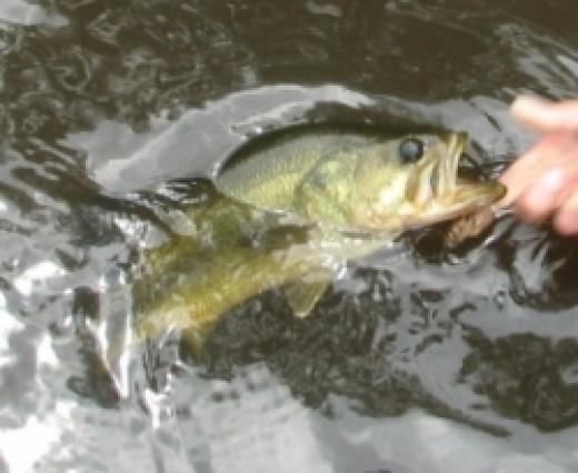 pocomoke river largemouth bass
