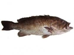 snowy grouper picture