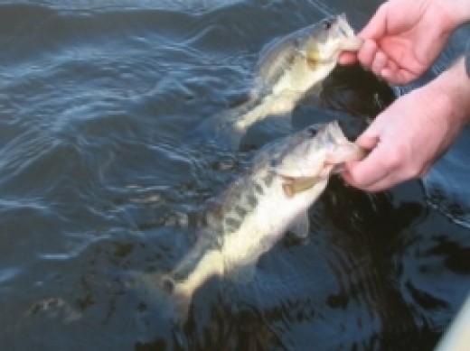 virginia largemouth bass