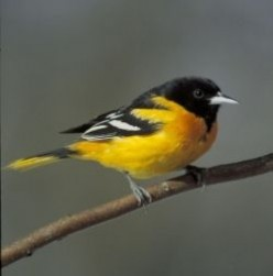 Feeding Orioles: How To Make an Oriole Feeder