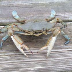 Male Blue Claw Crab