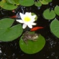 How To Plant Water Lilies