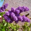 How and When To Prune Lilacs: Tips on Pruning Lilacs For Bigger Blooms