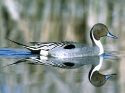 pintail drake duck