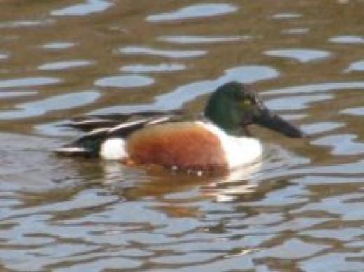 Shoveler Duck photo