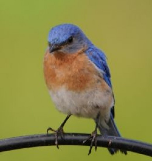 Eastern Bluebird_public domain