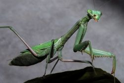One of the Good Bugs: Praying Mantis