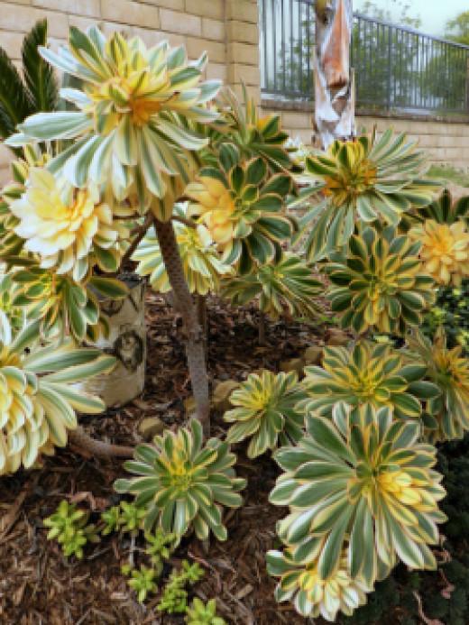 grow aeonium succulents
