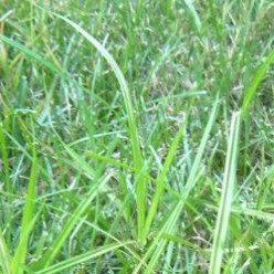 How To Control Nutsedge In Your Lawn: Nutsedge Weed Killer