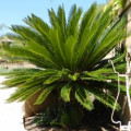 10 Reasons Not to Plant the Sago Palm
