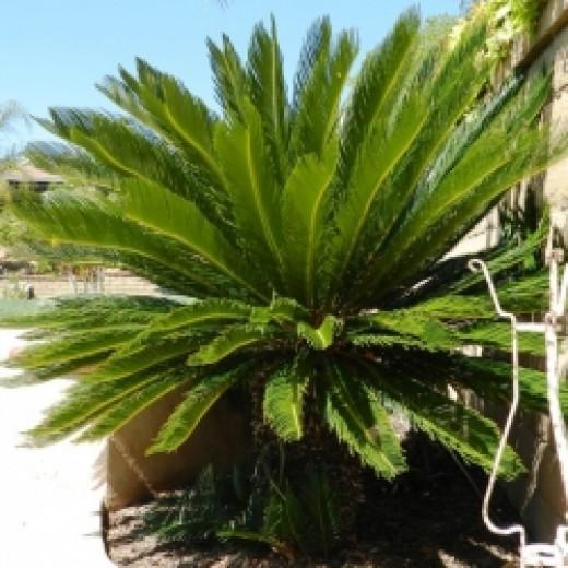 Ten-year-old sago palm.