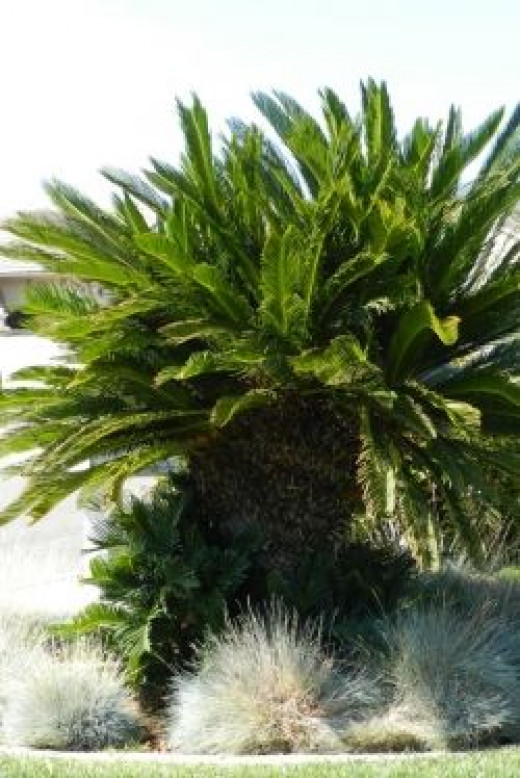 A sago palm that needs trimming.